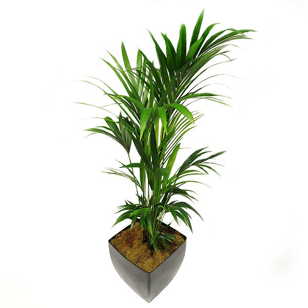 Live Kentia Palm Plant